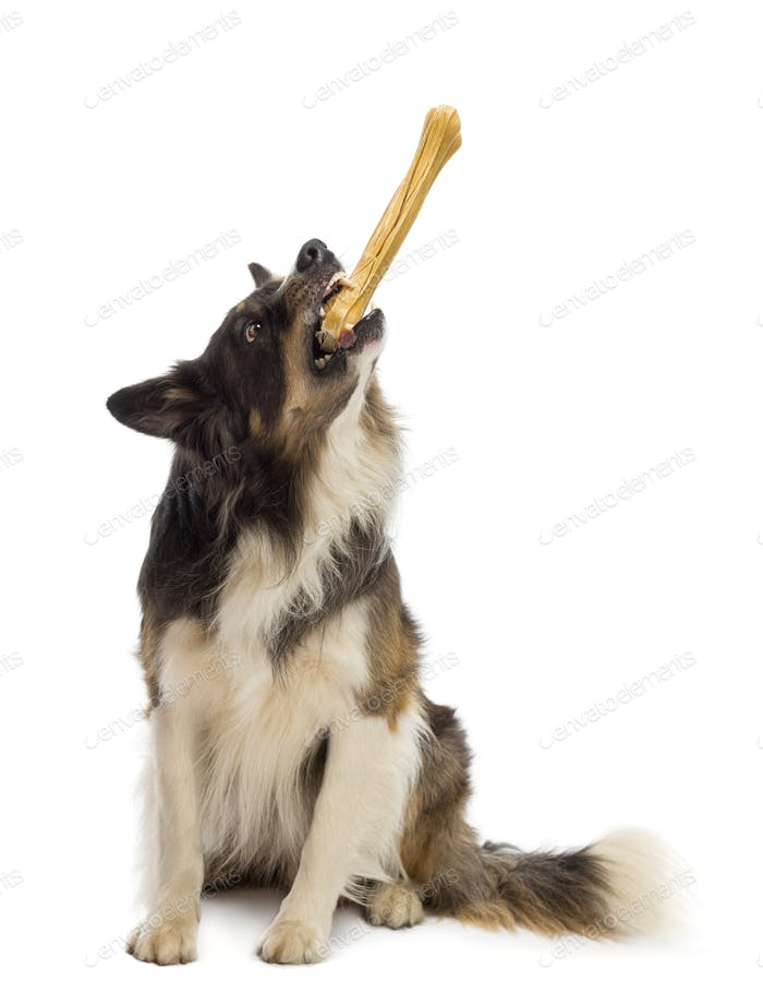 Border Collie sitting and holding the edge of bone against white background
