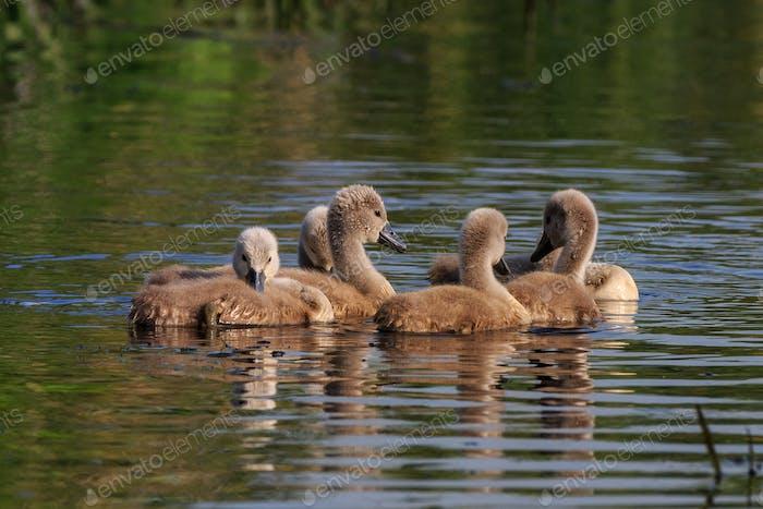 swan chicks on the lake