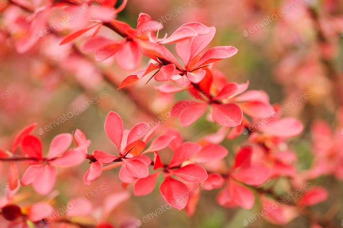 Red leaves on ornamental bush