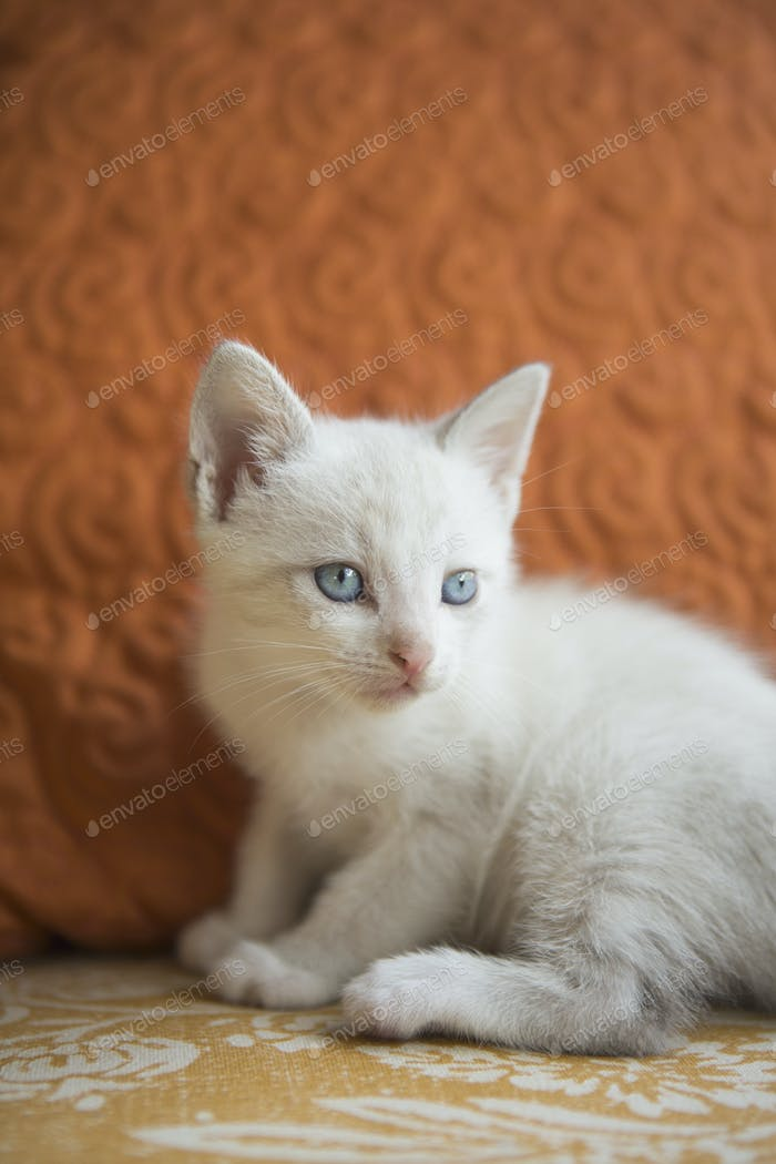 A small white kitten with blue eyes.