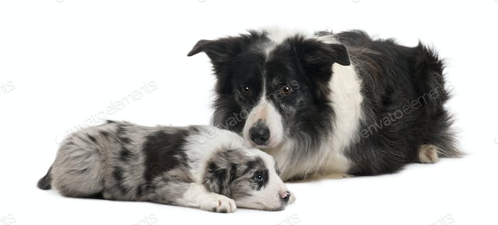 Border Collies lying in front of white background