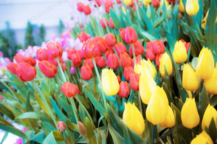 Colorful of tulip in winter