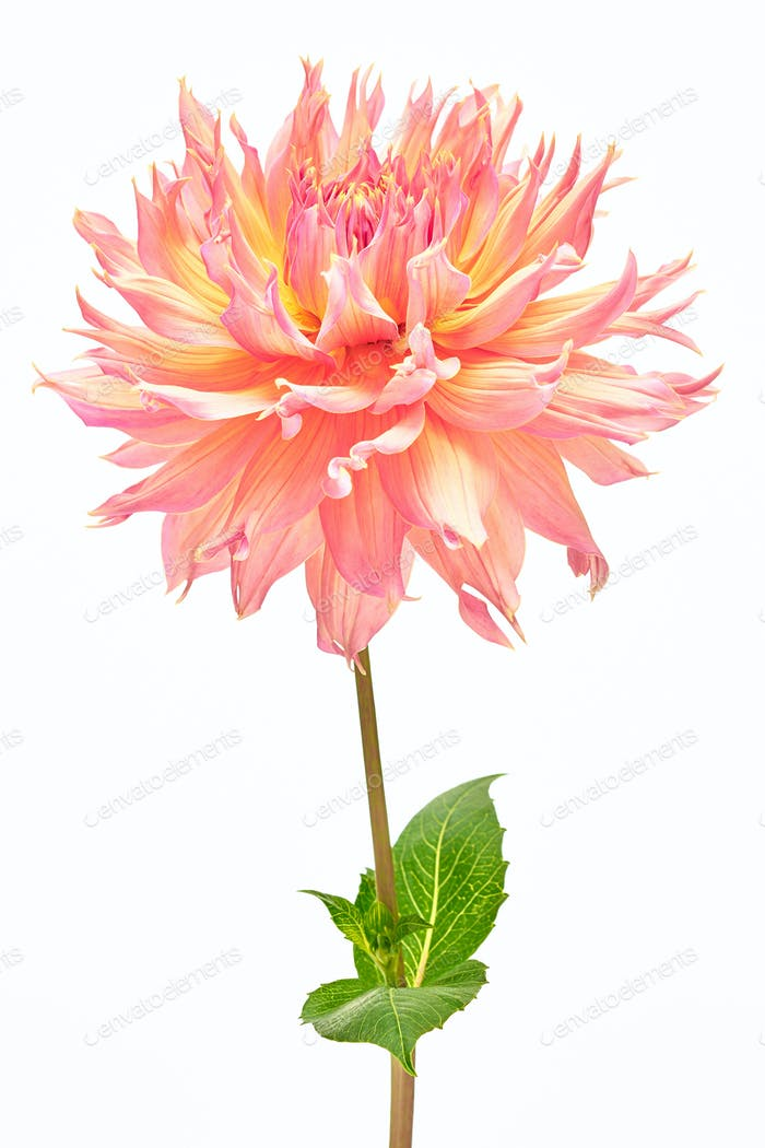 Dahlia, pink, yellow colored flower and green leaf