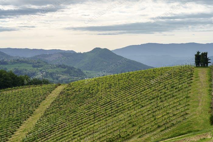 Vineyards on the Tortona hills at springtime