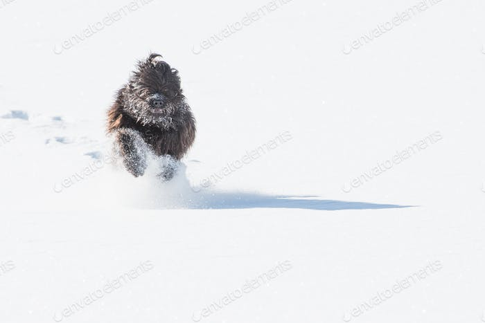 Bergamasco Schäferhund im Schnee
