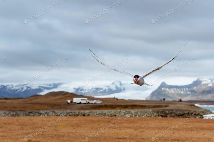 Arctic tern on white background