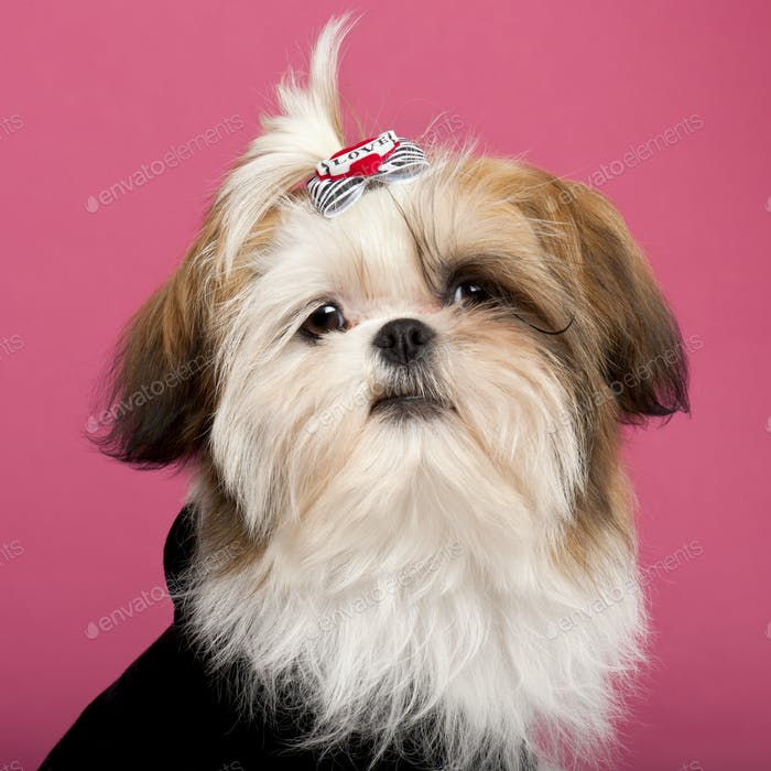 Close-up of Shih Tzu, 5 months old, in front of pink background
