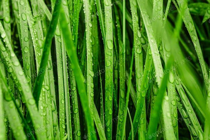 Langes grünes Gras bedeckt mit Regen