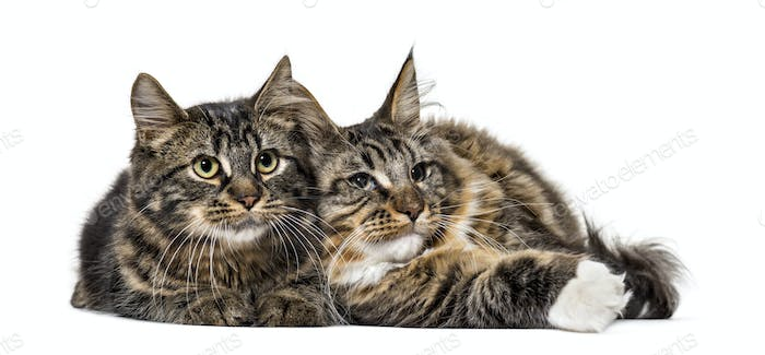 Two Maine Coon cat resting together (6 months old)