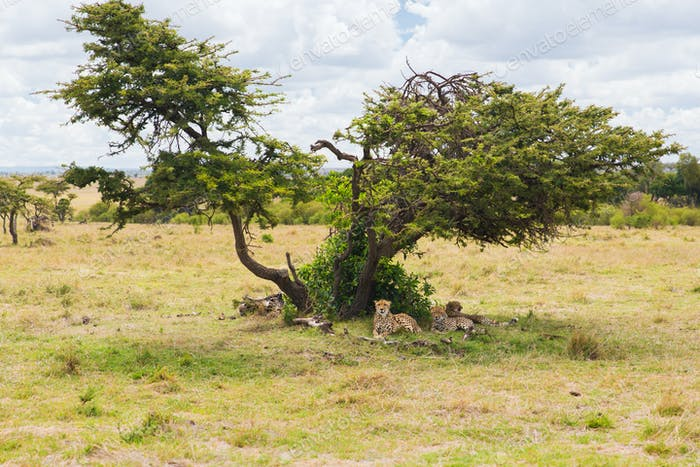 cheetahs lying under tree in savannah at africa