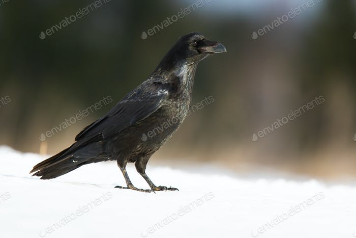 Common raven standing on snow in wintertime nature