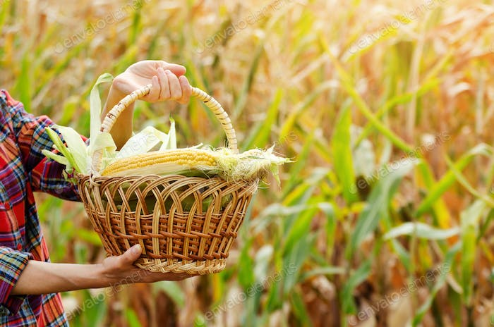 Wicker basket full of Just picked sweet corn cobs in female hands on maize field background