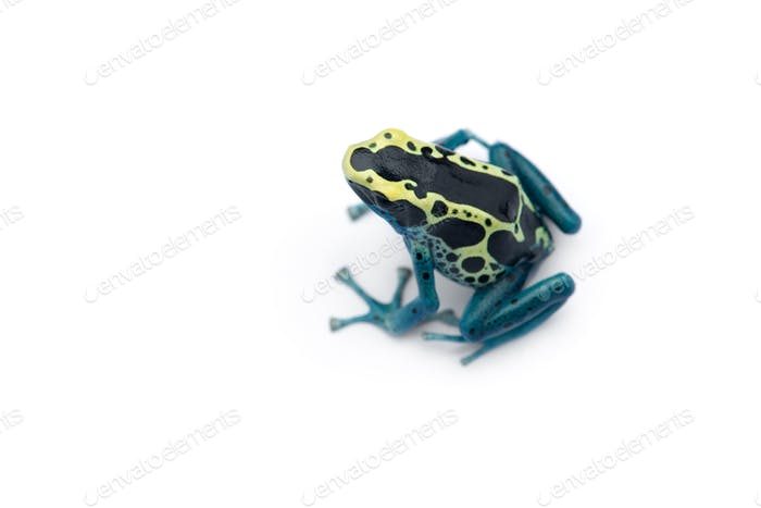 Thumbnail for The blue poison dart frog isolated on white background