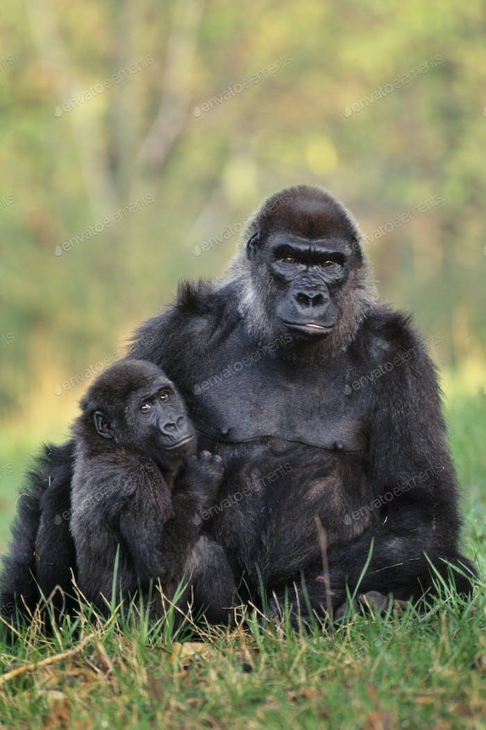 Lowland gorillas, Gorilla gorilla, Atlanta Zoo, Georgia