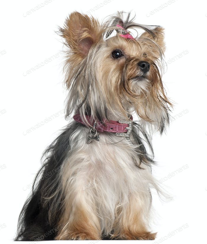 Yorkshire Terrier, 9 months old, sitting in front of white background