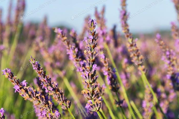Nahaufnahme der Lavendelpflanze in der Nähe von Puimoisson, Provence, Frankreich