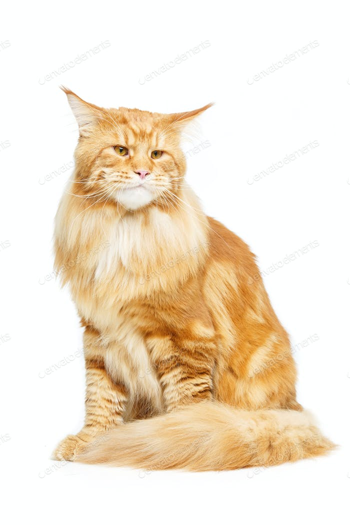 Beautiful maine coon cat