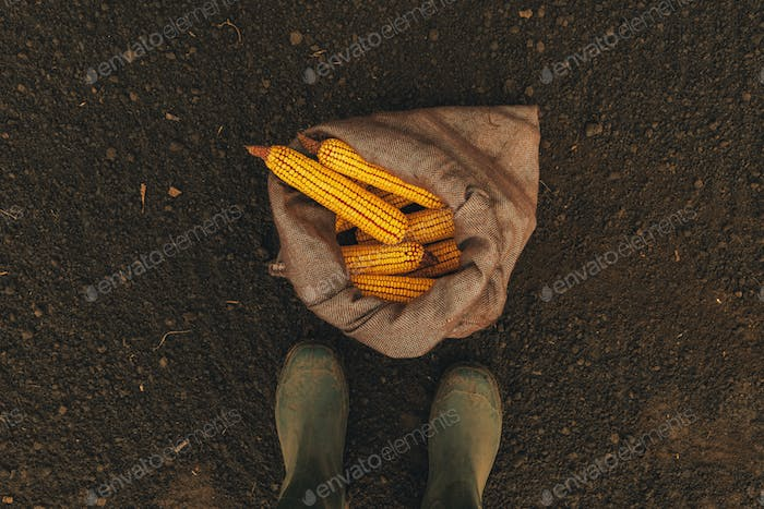 Farmer standing directly above harvested corn cobs in burlap sac