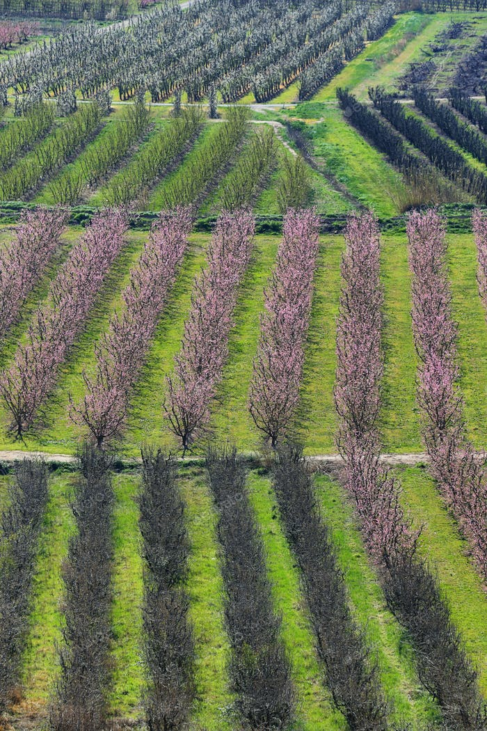 Flowering field of peach trees in Lleida