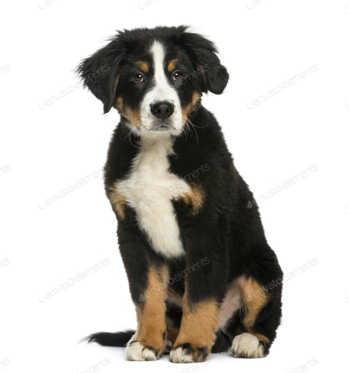 Young Bernese Mountain dog, 3,5 months old, isolated on white