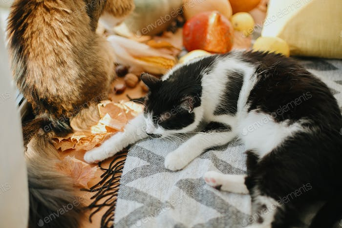 Sweet cat sleeping at pumpkins and harvest vegetables in sunny room