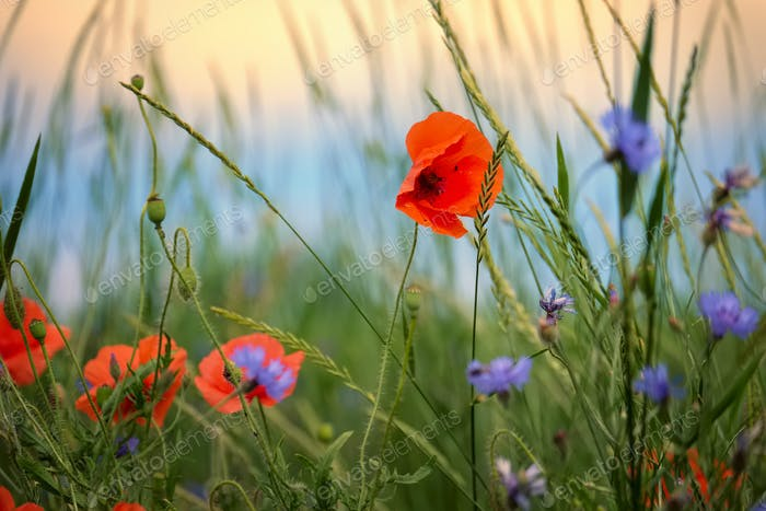 Poppy and cornflowers on a summer meadow