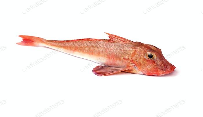 Roter Gurnard Fisch