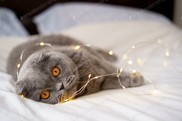 Gray Scottish fold domestic cat lying in bed.