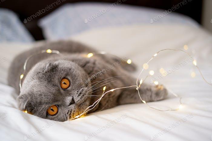 Graue schottische Faltkatze im Bett liegend.