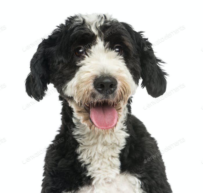 Close-up of a Crossbreed dog panting, 2 years old, isolated on white