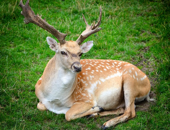 Male adult Sika Deer resting on the grass