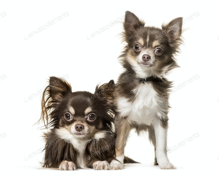 Two chihuahua dogs, lying and standing, cut out