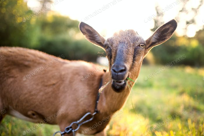 A close-up of a goat outdoors on a meadow at sunset.