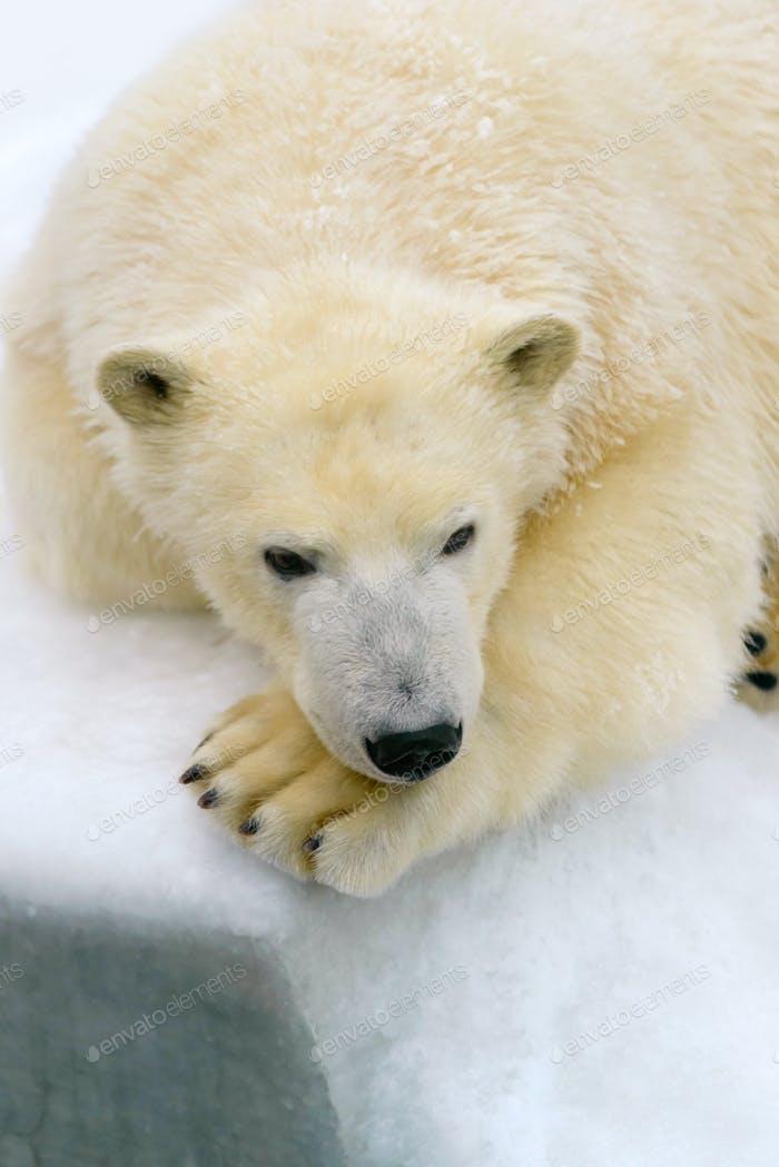 Polar bear on white snow