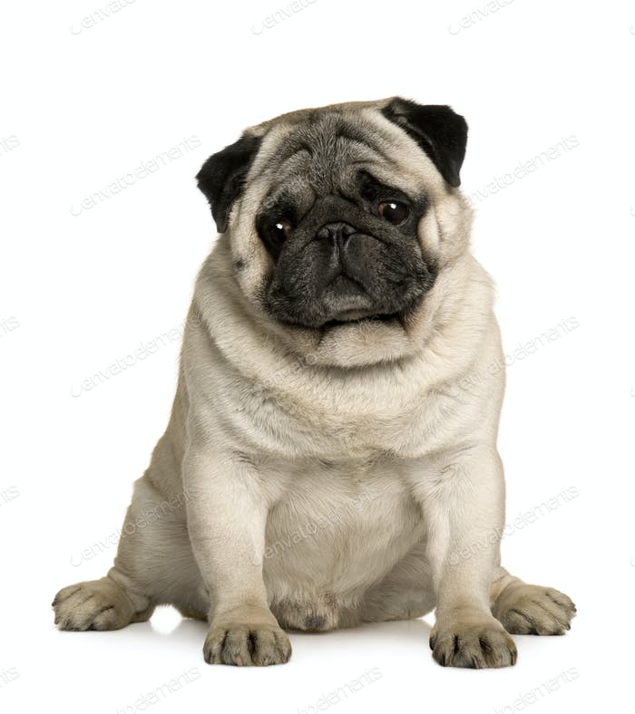 Pug, 4 years old, sitting in front of white background