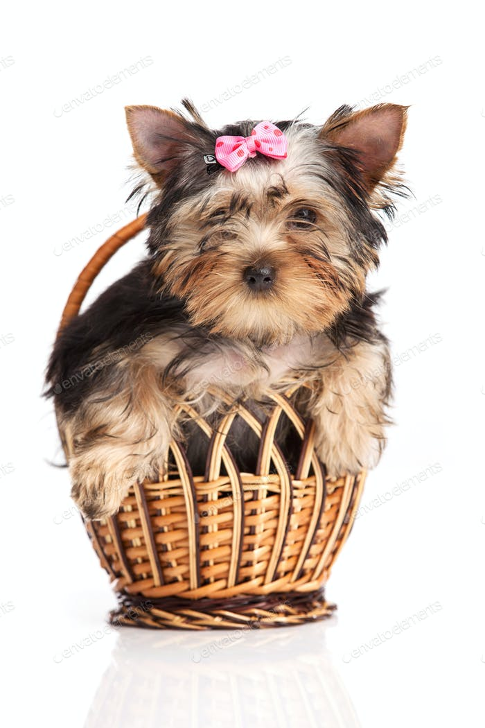 ute yorkshire terrier puppy in a basket isolated over white