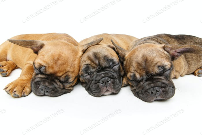 cute french bulldog puppies sleeping