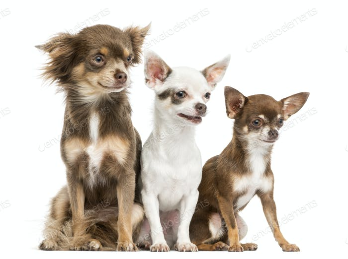 Group of Chihuahuas sitting, 2 years old, isolated on white