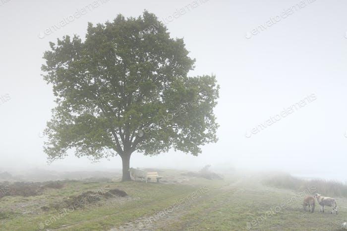 Schafe zu Fuß in dichten Nebel durch Eiche