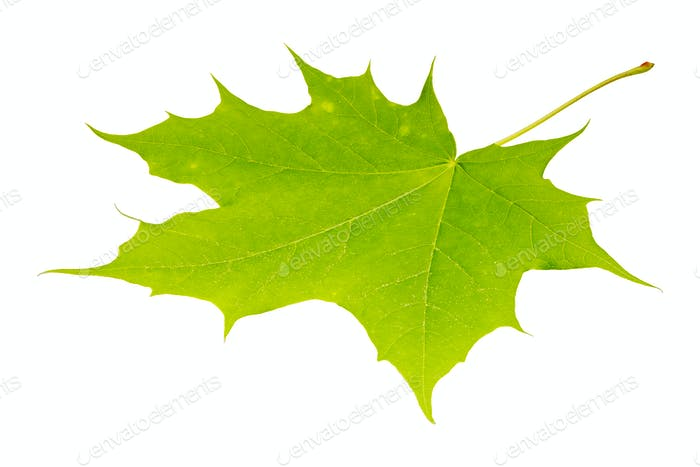 Green maple leaf on a white background