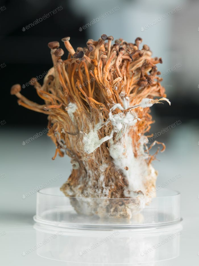 frozen enoki mushrooms sheaf in petri dish