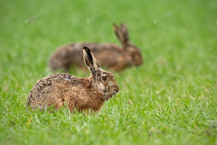 Two european brown hares lepus europaeus in summer with green blurred background
