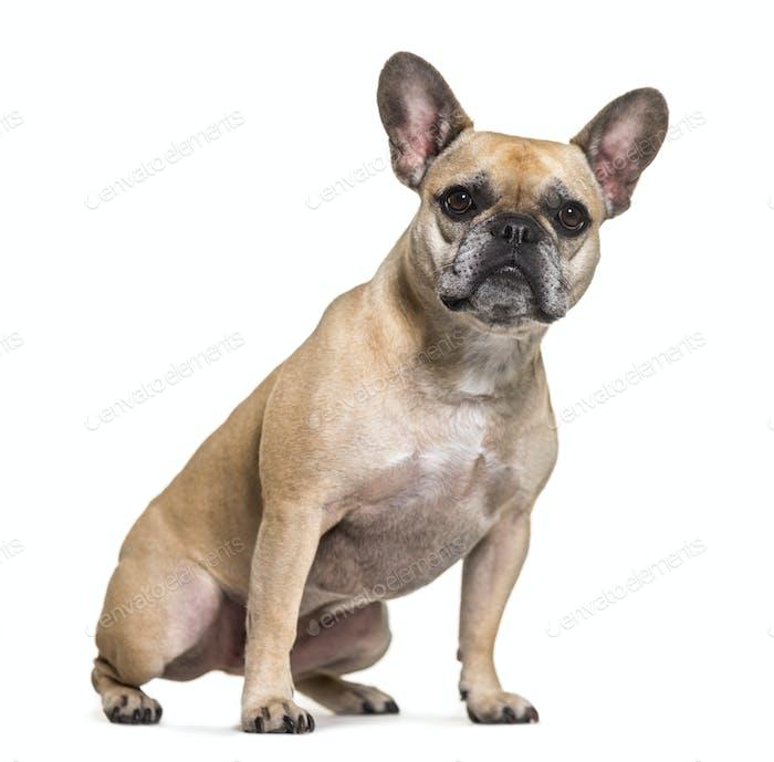 French bulldog dog sitting, cut out