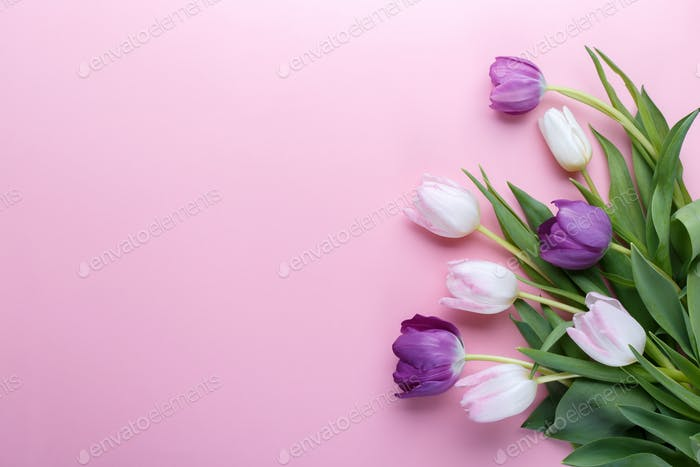 Tulips on pink background