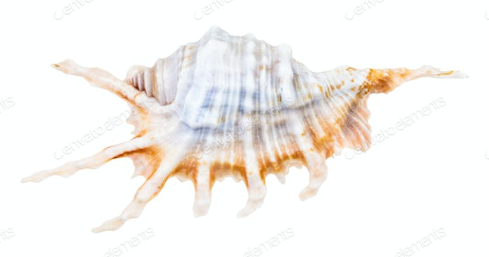 blue shell of murex snail isolated on white
