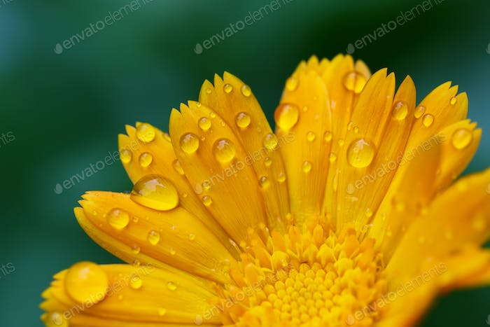 beautiful yellow daisy in the morning dew
