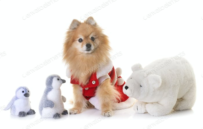 pomeranian spitz and christmas