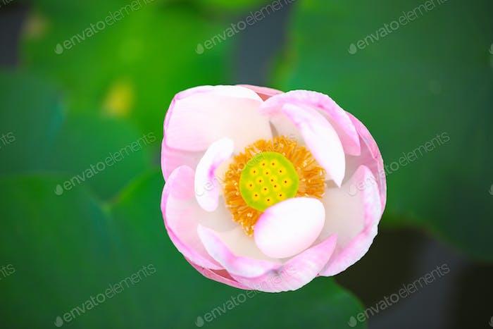 Schöne Seerose oder Lotusblume mit Wasseroberfläche