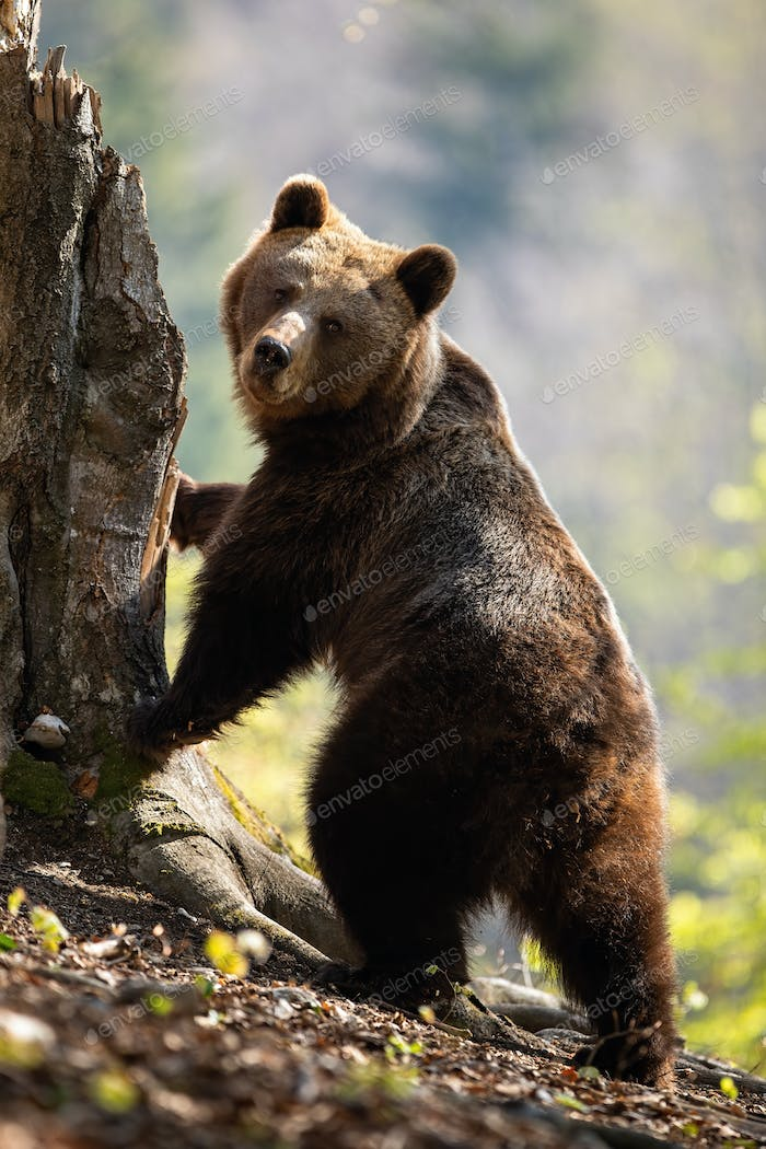 Cute female adult brown bear standing in upright position on rear legs by tree