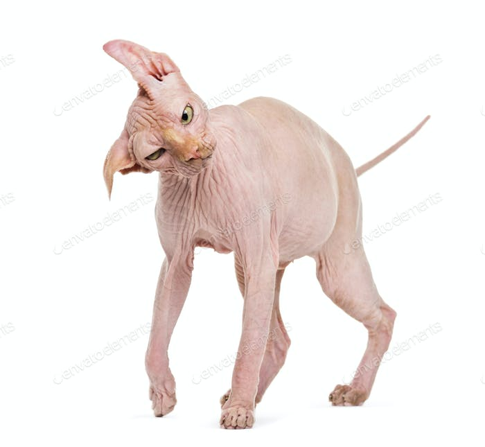 Sphynx, 4 years old, shaking head against white background